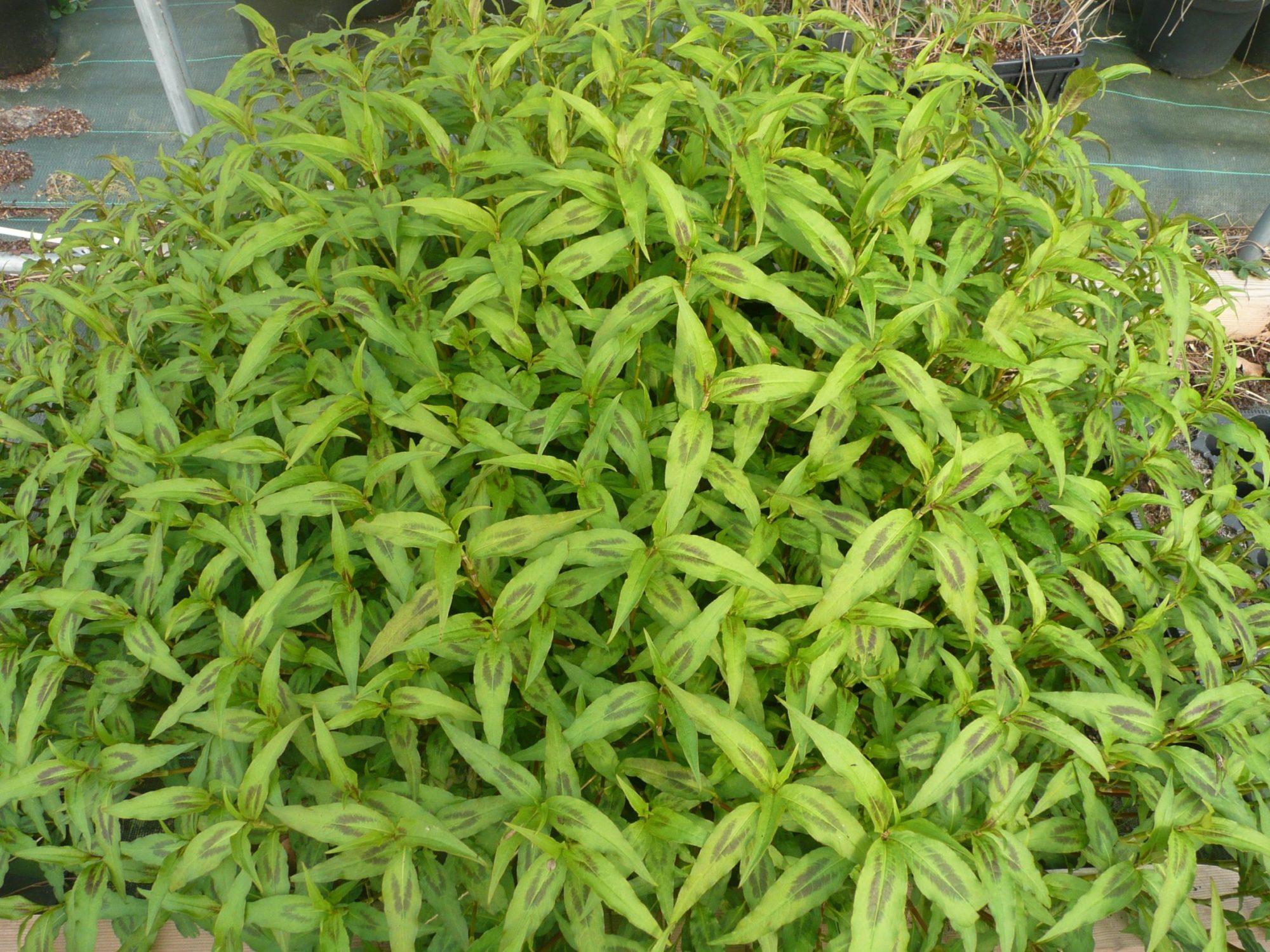 Coriandre vietnamienne (2)