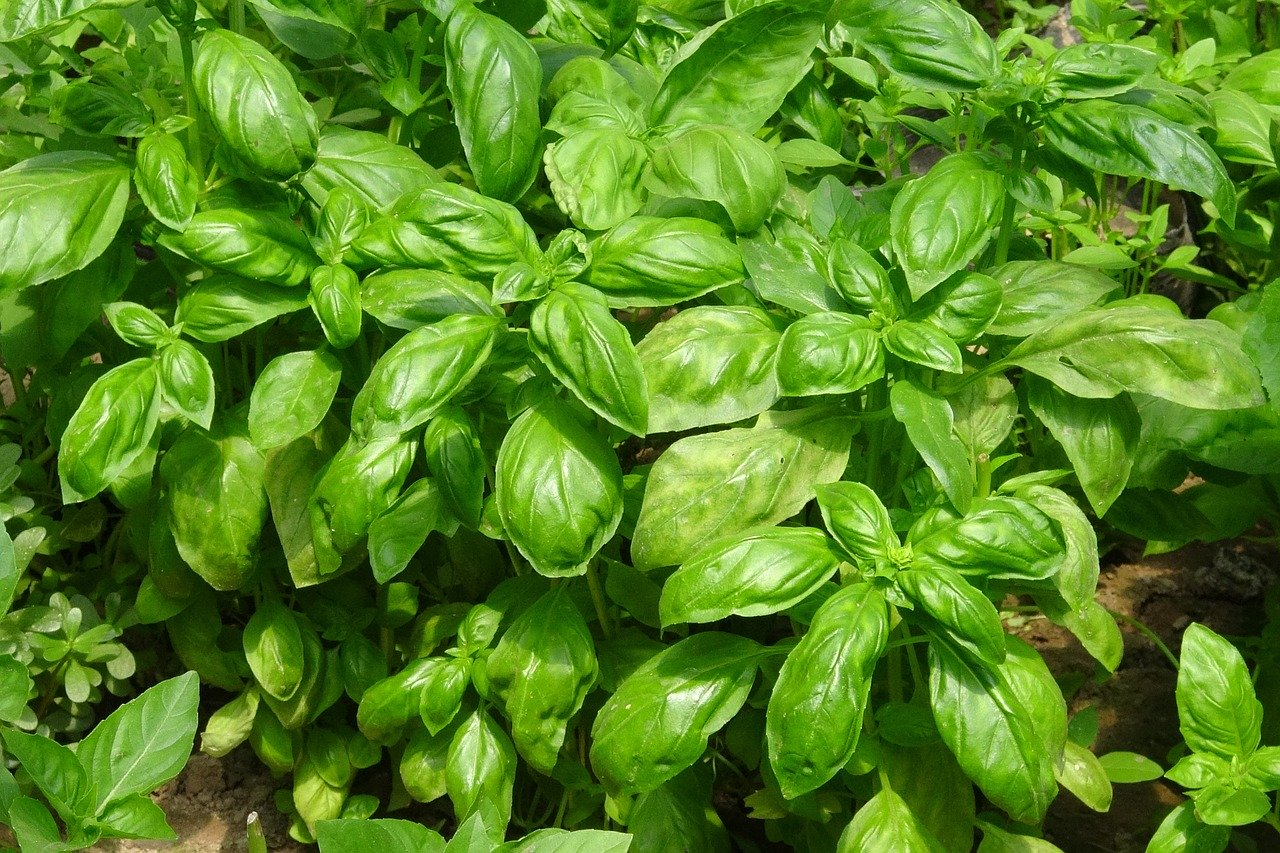basilic grand vert 1