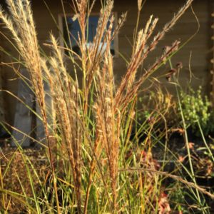 Miscanthus Morning Light (2)