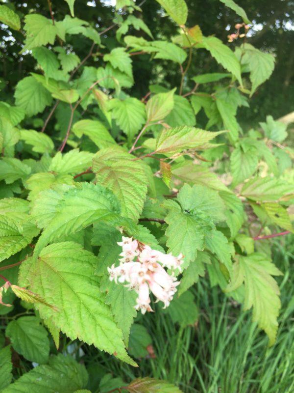 Neillia sinensis