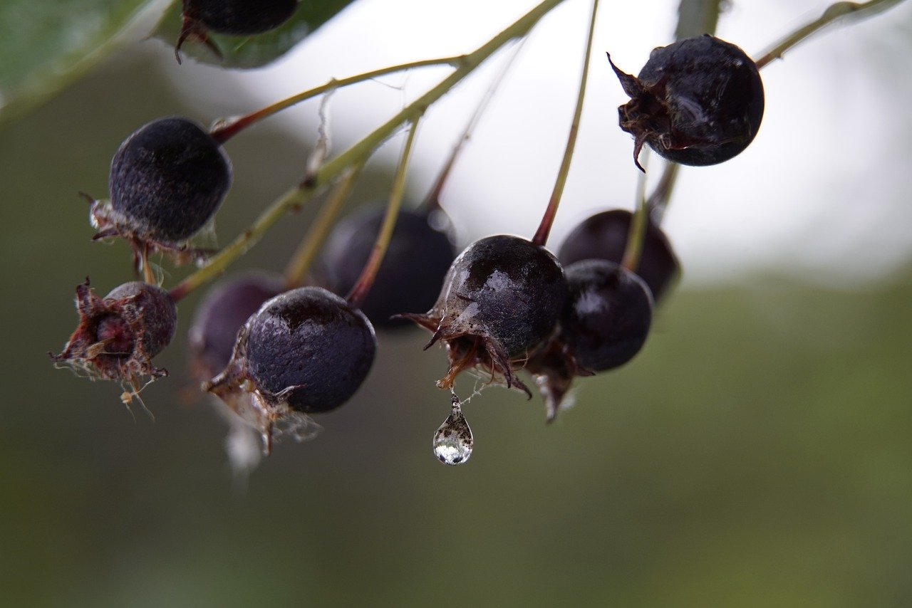 amelanchier fruits