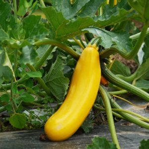 courgette gold rush