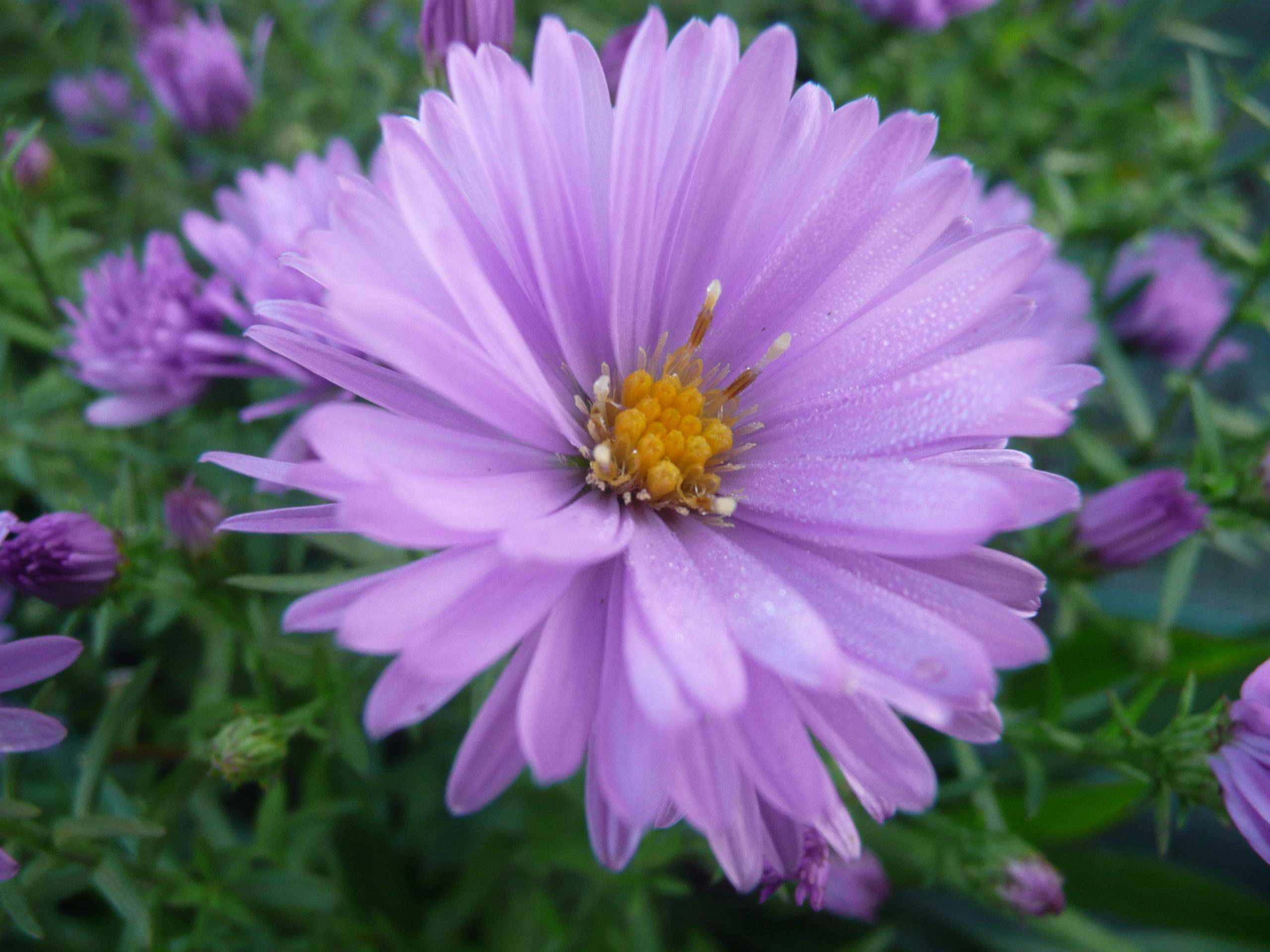Aster Lady in Blue(4)