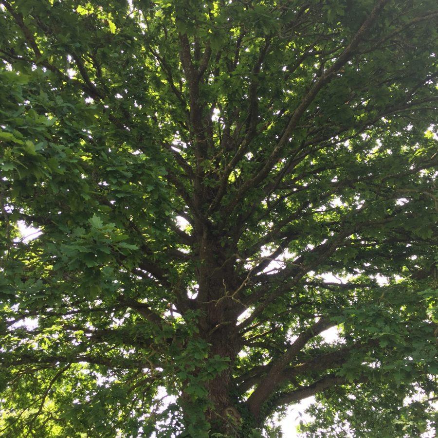 Vieille ragosse de chêne pépinière des Lucanes